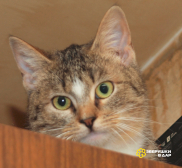 Шотландский котенок (метис) девочка Чика, 7 месяцев, яркий браун табби с белым