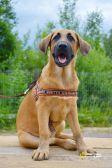 Большой, послушный и обученный щенок, 5 мес