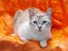 Метис тайской кошечки Тайра ищет дом